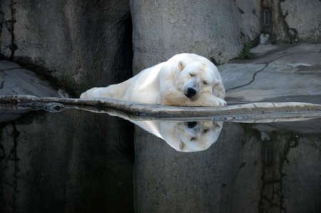 bear lake: A sleeping polar bear at a zoo.  Stock Photo