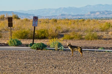 A nervous coyote, in a parking lot, stop and watch because he heard someting.