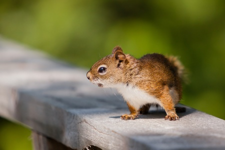 pelage: A nervous red squirrel is on a rail