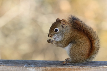 pelage: A nervous squirrel is sited on a rail