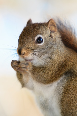 pelage: A close shot of a nervous squirrel sited on a rail