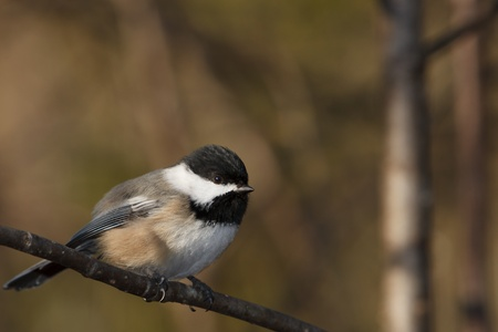 capped: A black-capped chickadee is perch on a branch
