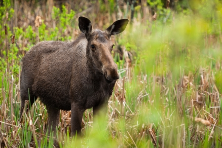 pelage: A young female moose as come in the swamp to eat some cattail