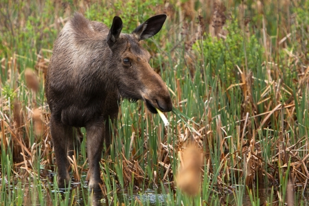 come in: A young female moose as come in the swamp to eat some cattail