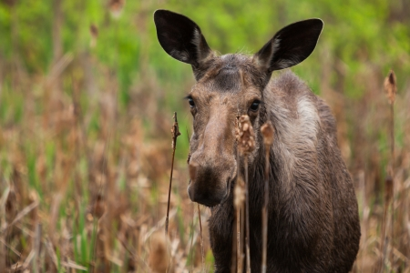 moose: A young female moose as come in the swamp to eat some cattail