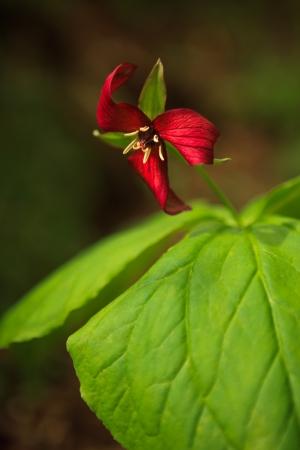 erectum: Purple Trillium flower grows in the underwood at spring