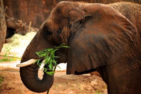 elephant�s: Elefante africano comer Foto de archivo