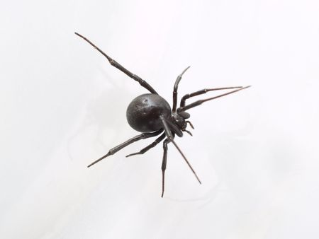 widow: Black Widow Spider from Above, Closeup     Stock Photo