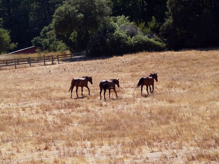 Three morgan horses on ranch starting to trot away