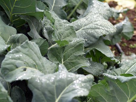 Row of kale plants with water drops on leaves Stock fotó