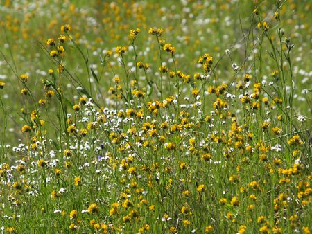 green field of yellow and white wild flowers        Imagens