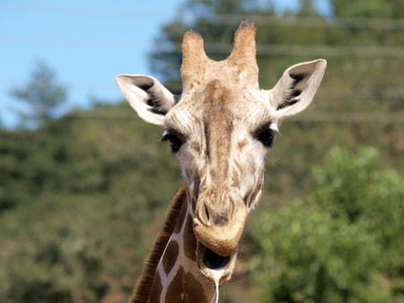 drool: Tight portrait of young Giraffe with drool on lips