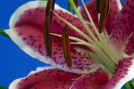 anthers: Open flower closeup of pollen on anthers stamen Stock Photo