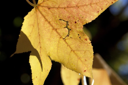 Single autumn yellow and red leaf closeup with tear Stock Photo - 11512912