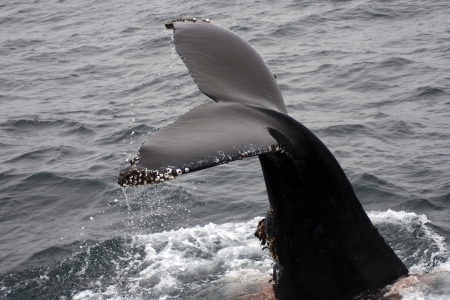 flukes: Flukes of Humpback Whale out of Water Barnacles Stock Photo