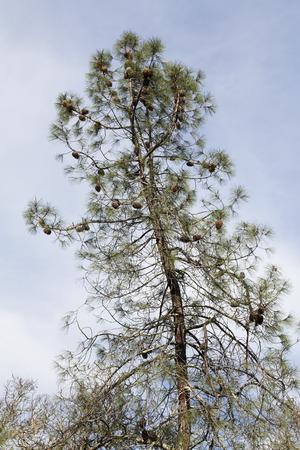 laden: Upturned View Of Pine Tree Laden With Pine Cones
