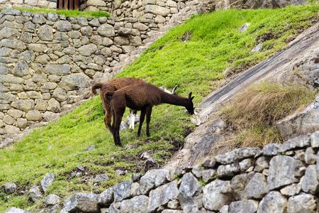 machu picchu: Llamas Eating Grass At Machu Picchu Peru