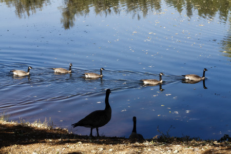 canadian geese: Canadian Geese Swimming And Standing On Shore Stock Photo