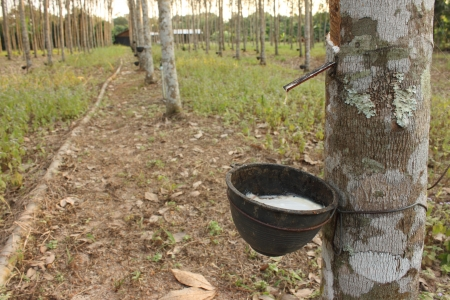 Milky Latex of rubber tree, Thailand