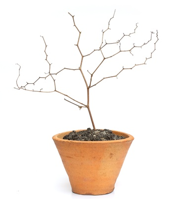Dry tree in pot isolated on white background Stock Photo