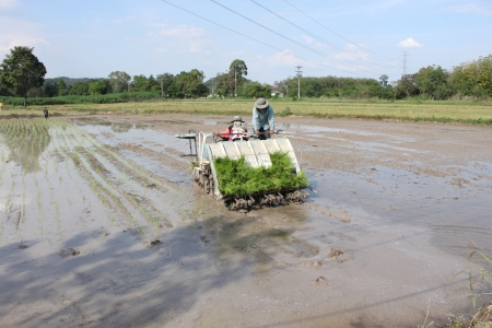 rice planting by rice planting machine in Thailand