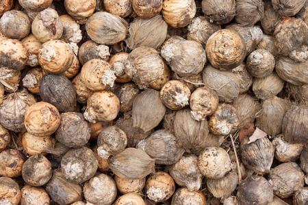 Betel Nut or Areca Nut background photo