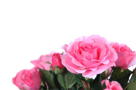 Pink roses isolated on white background. Stock Photo