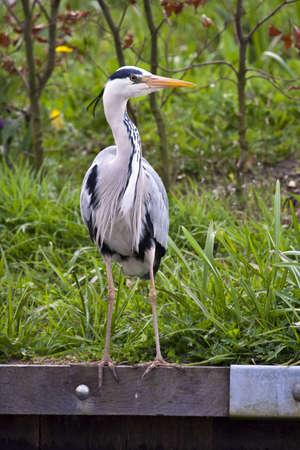 waterside: Grey heron on the waterside Stock Photo