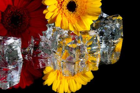 gerberas with transparent cubes photo