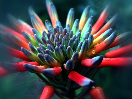 An aloe flower
