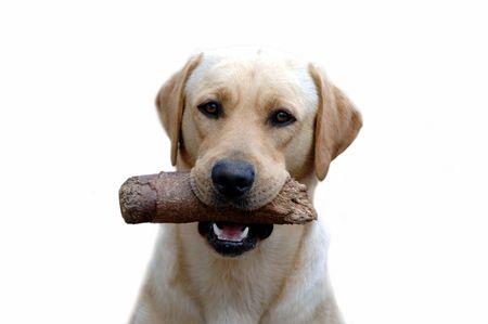 My Labrador Giga Byte 2