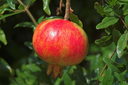 a ready ripe pomegranate to eat Stock Photo