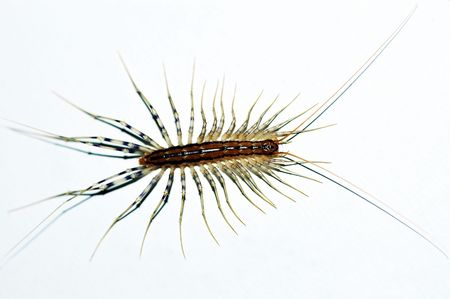 Centipede insect