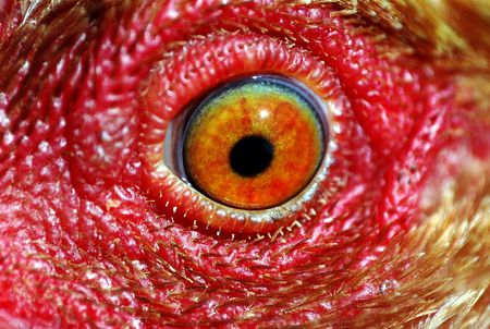 detail of the eye of a chicken