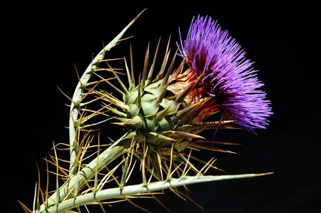 large and highly detailed thistle