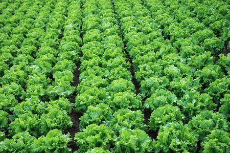 lettuces: detail of a lettuces plantation