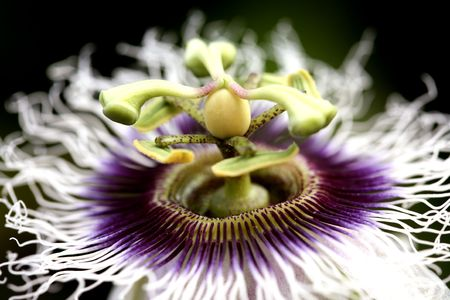 macro detailed of a passion fruit flower Stock Photo - 2567579