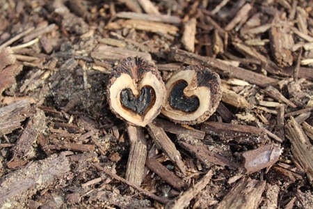 A pair of walnut pieces with heart shapes inside found in park.