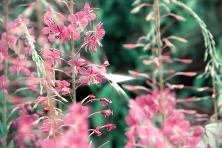 angustifolium: Willowherb - Epilobium Angustifolium.