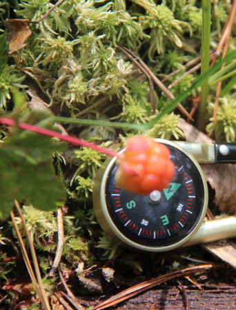 chicouté: Cloudberry is growing in the swamp. Harvest in the forest