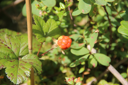 chicout�: Cloudberry is growing in the swamp. Harvest in the forest