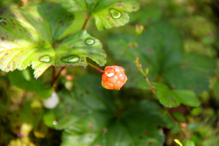 Cloudberry is growing in the swamp. Harvest in the forest