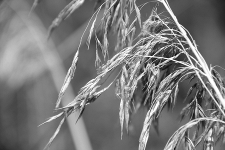 Reed inflorescence close-up. Shallow depth of field. Summer season. Black and white image Stock Photo