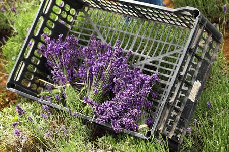 vintage lavender in the garden