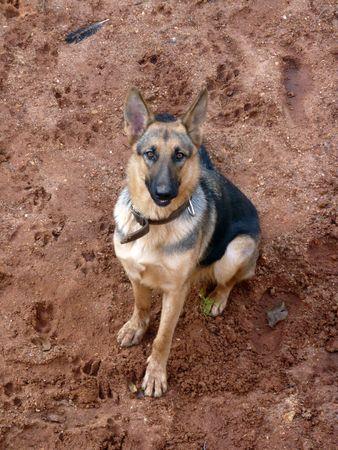 alsation: German Shepherd Stock Photo