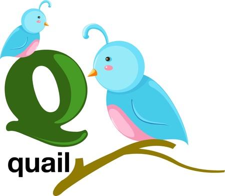 quaglia: animali alfabeto lettera q Vettoriali
