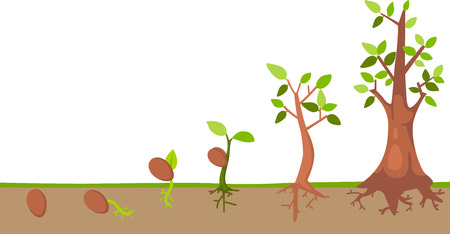seedling growing: Tree life cycle vector