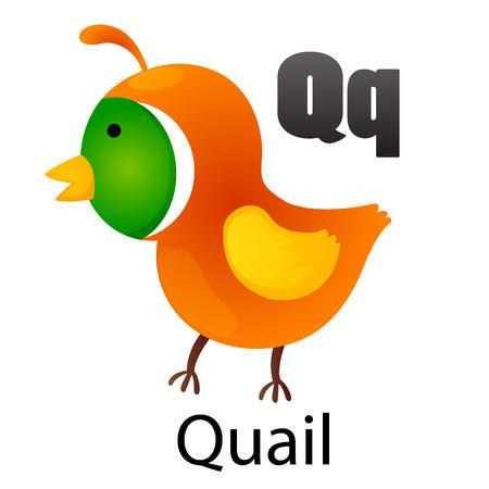 animal alphabet: Alphabet Q with Quail