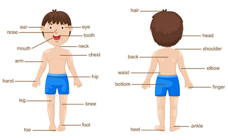 head and shoulders: illustration of vocabulary part of body vector