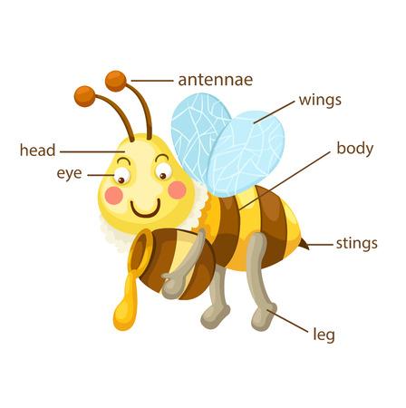 ilustración de parte del vocabulario de la abeja de vector cuerpo